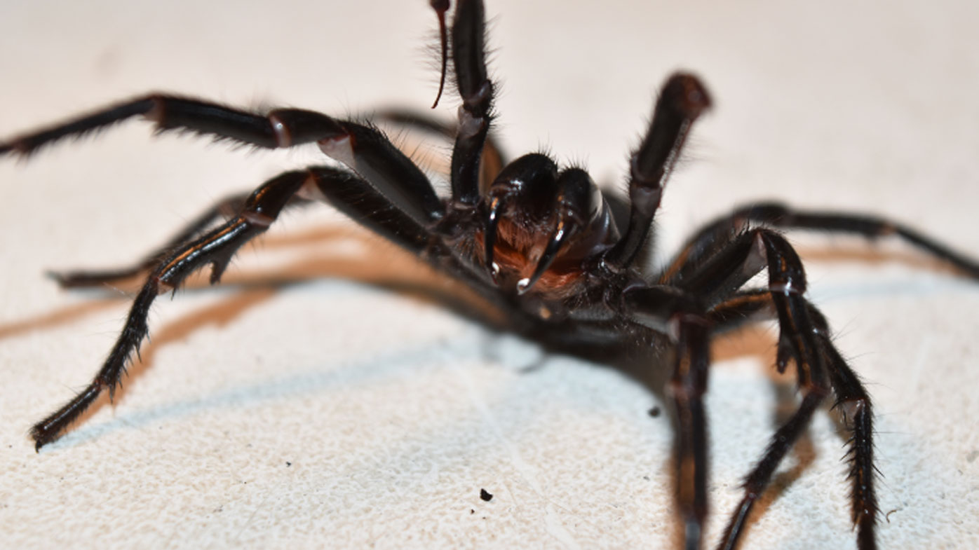 How to catch a funnel web spider: Experts ask for help after influx