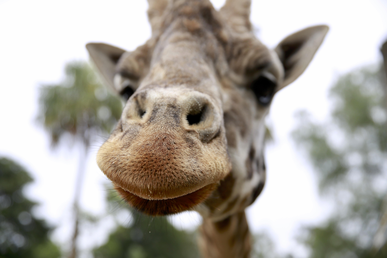 Australasia's oldest male Rothchild's giraffe dies