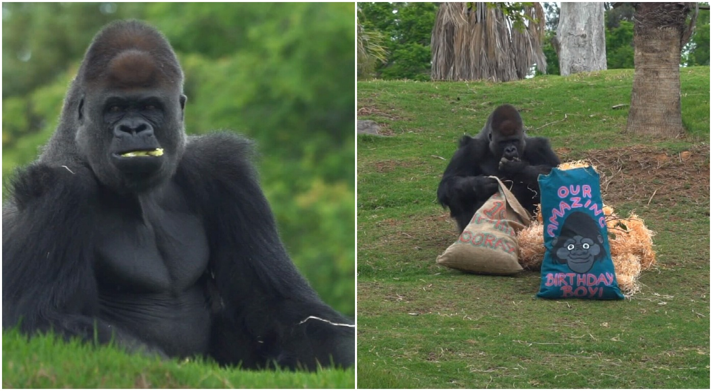 Yakini the silverback gorilla celebrates his nineteenth with a few of his birthday bag