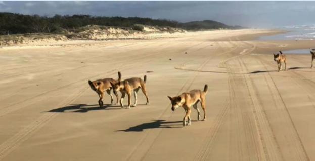 Dingo bites boy, 6, on Fraser Island