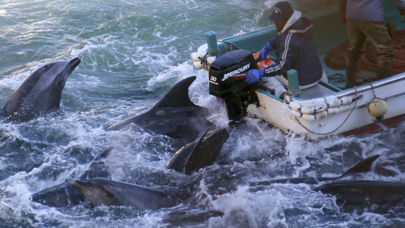 'Undue cruelty': Japan faces legal fight over controversial dolphin hunt