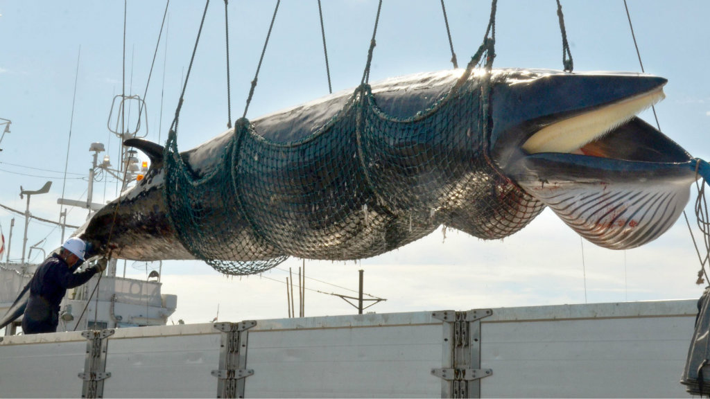 commercial whaling Tokyo — japan will open a new bid to resume commercial whaling operations, as well as demand major reforms to the international whaling commission (iwc), at a global conference in brazil next.