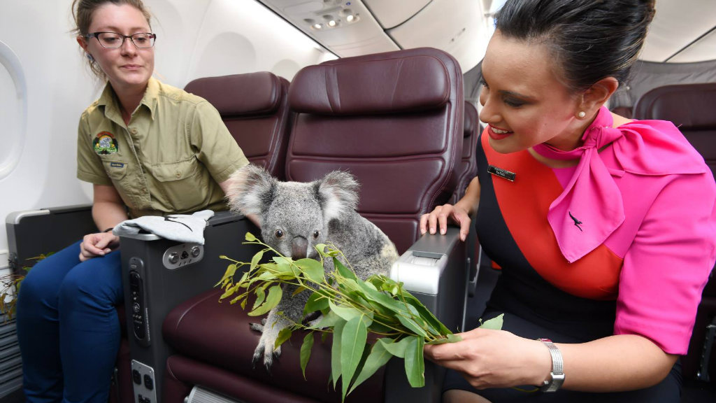 To mark Singapore's 50th anniversary of independence, Australia is gifting four koalas to Singapore Zoo. (Qantas Facebook)