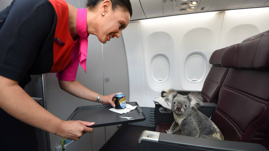 Gum leaves, hot towels and maximum cuteness: What happens when four koalas are let loose in first class