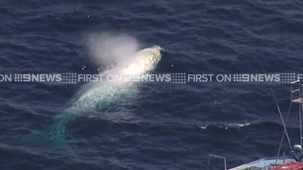 Migaloo was spotted by the 9NEWS chopper today. (9NEWS)