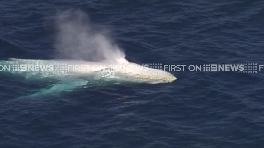 The white humpback is often spotted as it makes its journey along the east coast of Australia. (9NEWS)