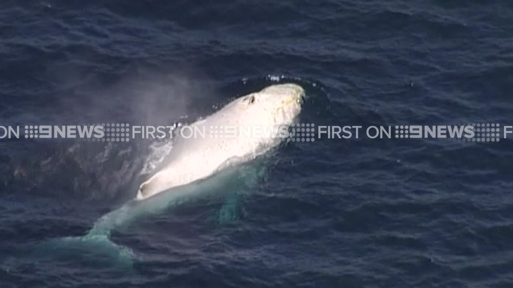 Sea World confirmed the whale was indeed Migaloo. (9NEWS)