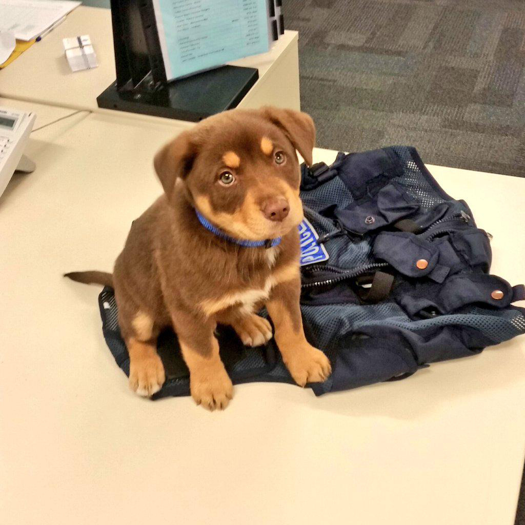 WA police station's newest 'recruit' is beyond cute and unlikely to intimidate anyone