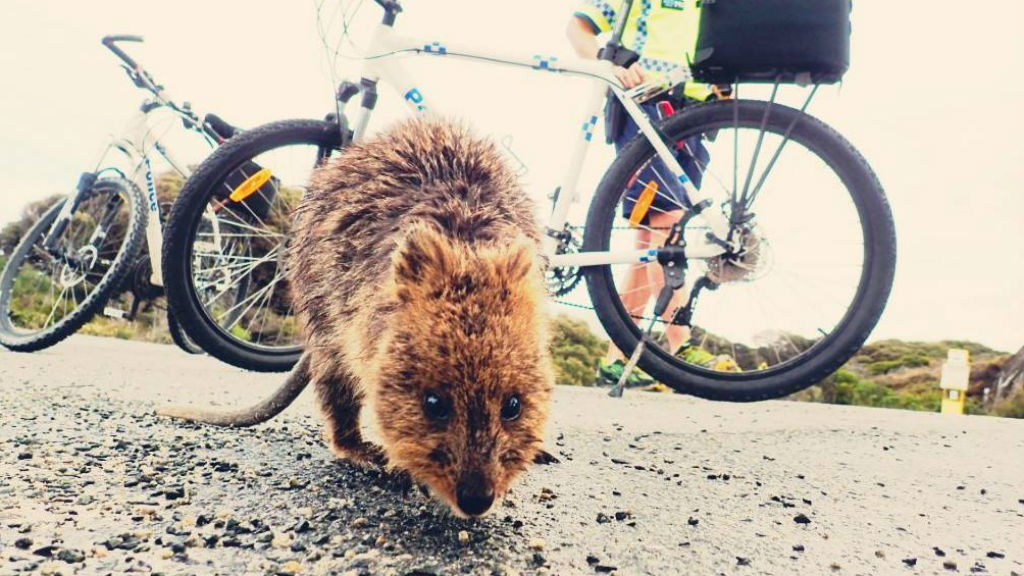Teenager charged and evicted from Rottnest Island over quokka kick