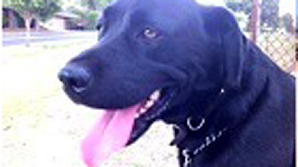 Six-year-old Labrador found stabbed to death in Melbourne backyard