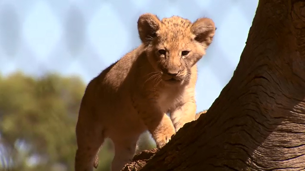 One of the three lion cubs who made their debut at Werribee Zoo last week. (9NEWS)