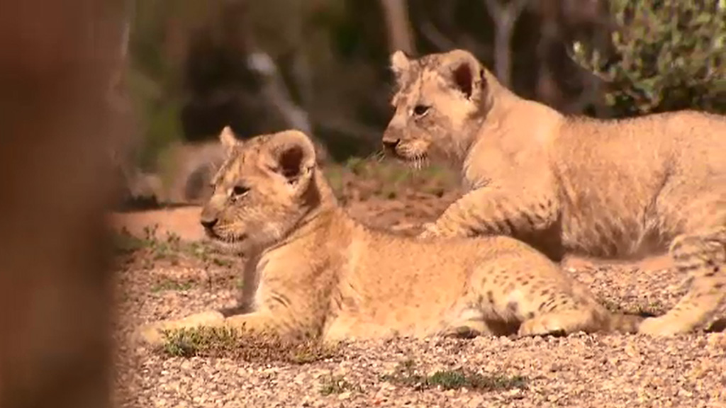 Werribee Zoo called for suggestions on names for the three cubs, officially unveiling them today. (9NEWS)