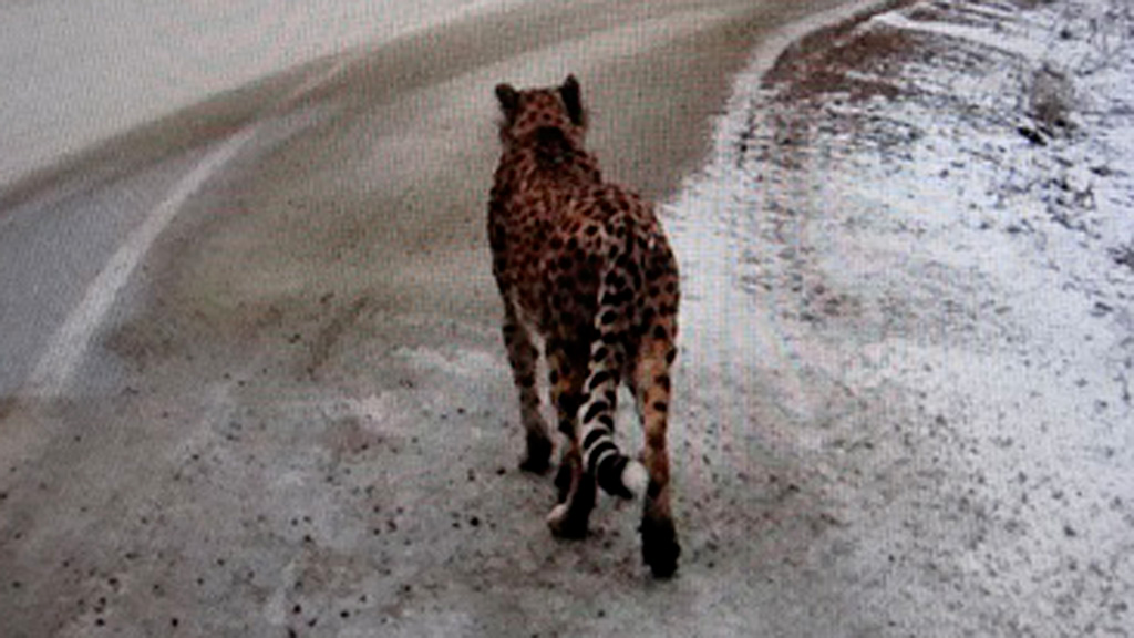 Cheetah spotted on Canadian highway.
