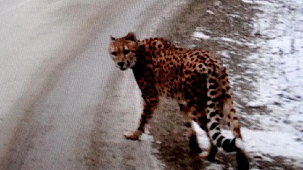 'Scarf-wearing' cheetah seen wandering snowy Canadian highway