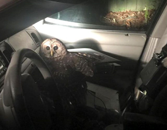 The rogue owl stayed in the vehicle for 45 minutes. Source: Facebook