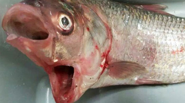 SA fisherman nets two-mouthed bream