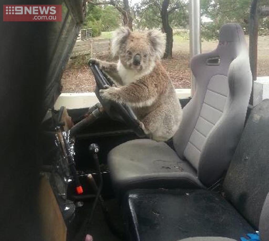 Australian schoolboy finds koala trying to drive a car