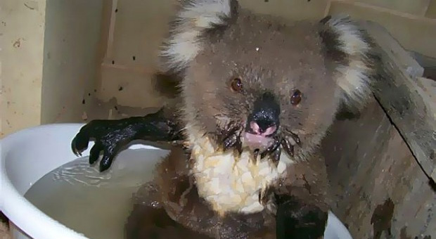 Dehydrated koala 'Star' went viral after seeking refuge on the verandah of a family home in Maude in 2009. (Supplied)