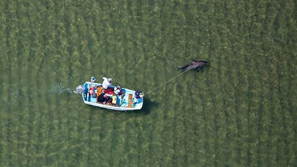 The ailing shark recovered shortly after being returned to the water. (Atlantic White Shark Conservancy/Wayne Davis)