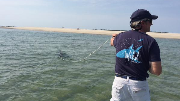 The Chatham Harbourmaster and a team of local experts were able to tow the shark back out to sea. (Atlantic White Shark Conservancy/Massachusetts Division of Marine Fisheries)