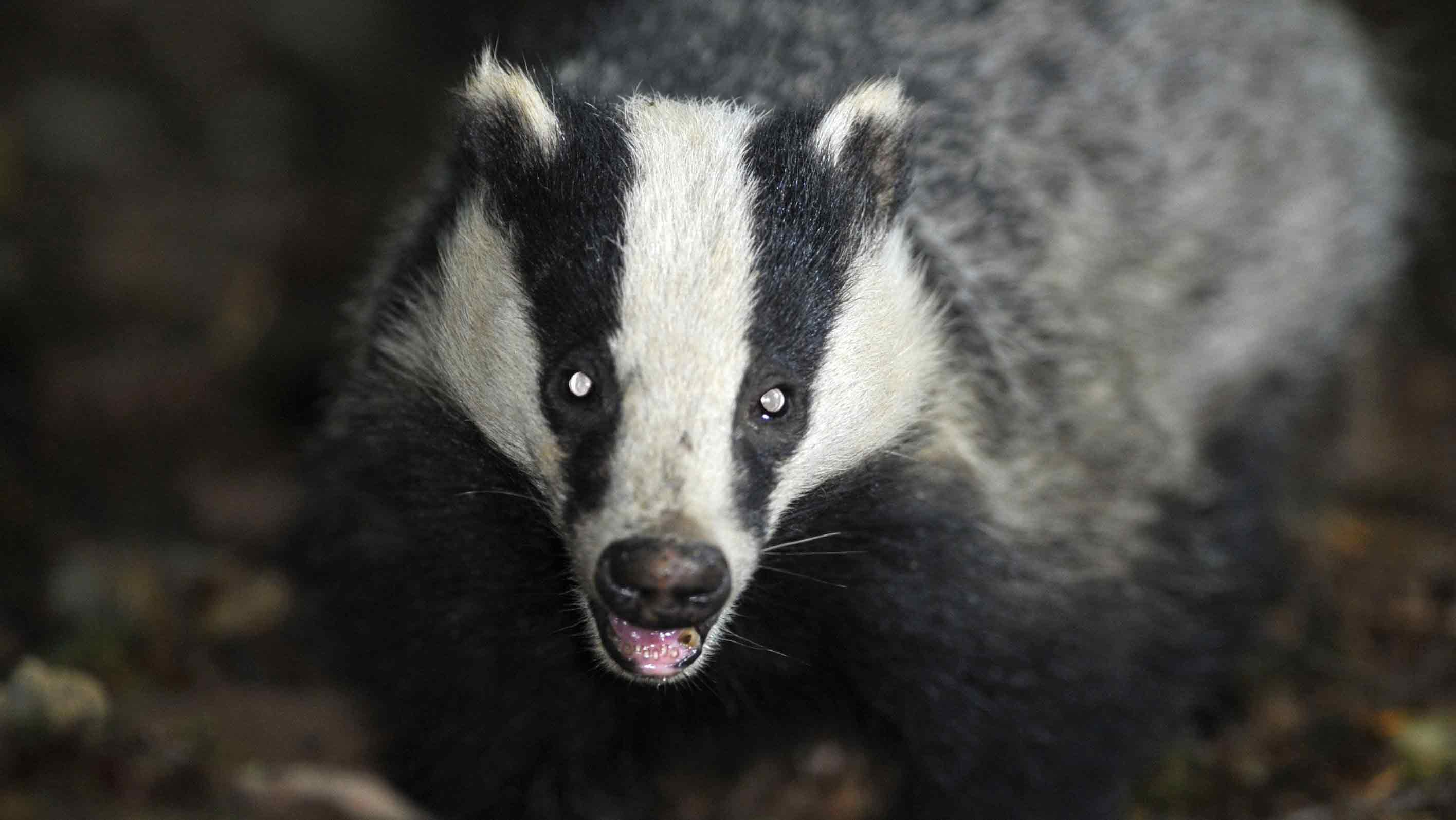 Male European badgers are known to be particularly territorial. (AAP)