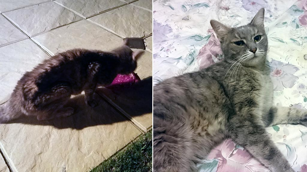 Before and after: Pippa is currently recovering in the care of a foster home. (Jason King/Animal Welfare League)