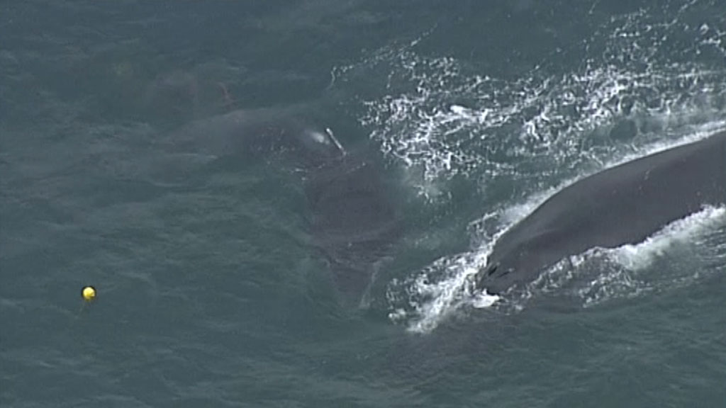 The calf is trapped by the tail. (9NEWS)