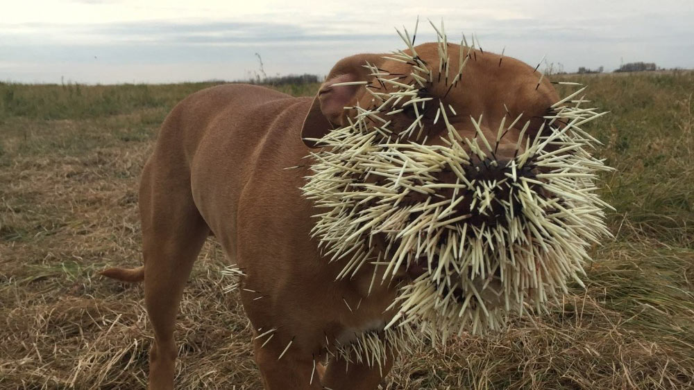 Canadian dog's face reduced to a pincushion after nasty encounter with porcupine