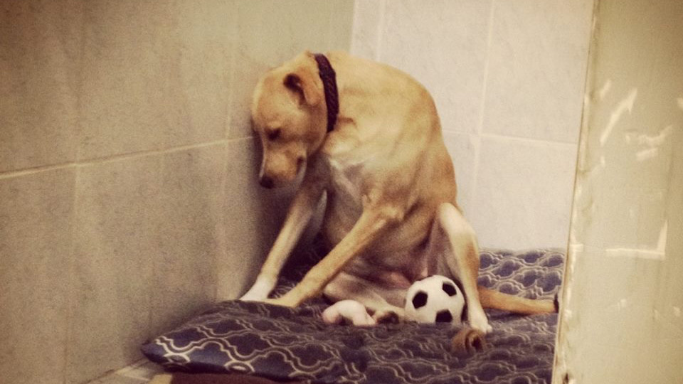 Lana in the doldrums after being returned to the shelter. (Facebook/Might Mutts)