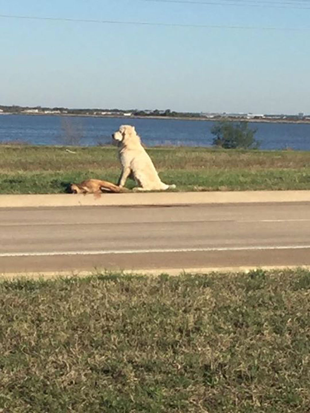 Loyal dog keeps watch over friend hit by car