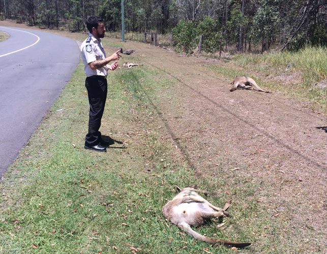 Reward offered to find driver who ran down 17 kangaroos in Brisbane