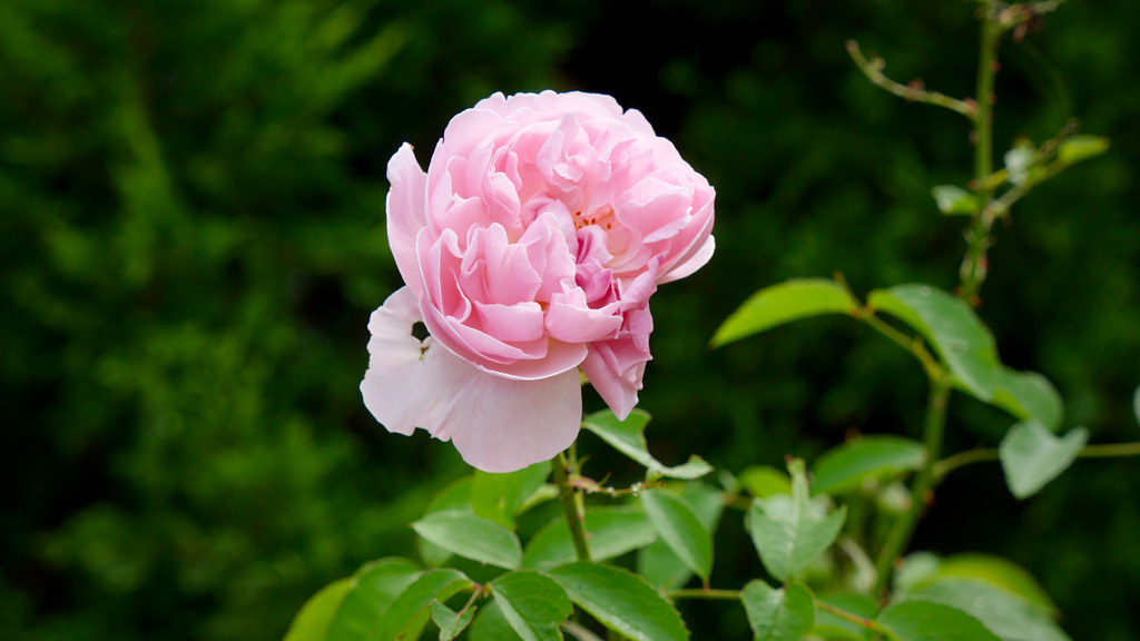 A rose bed is among the garden's many features. (Ehsan Knopf/9NEWS)