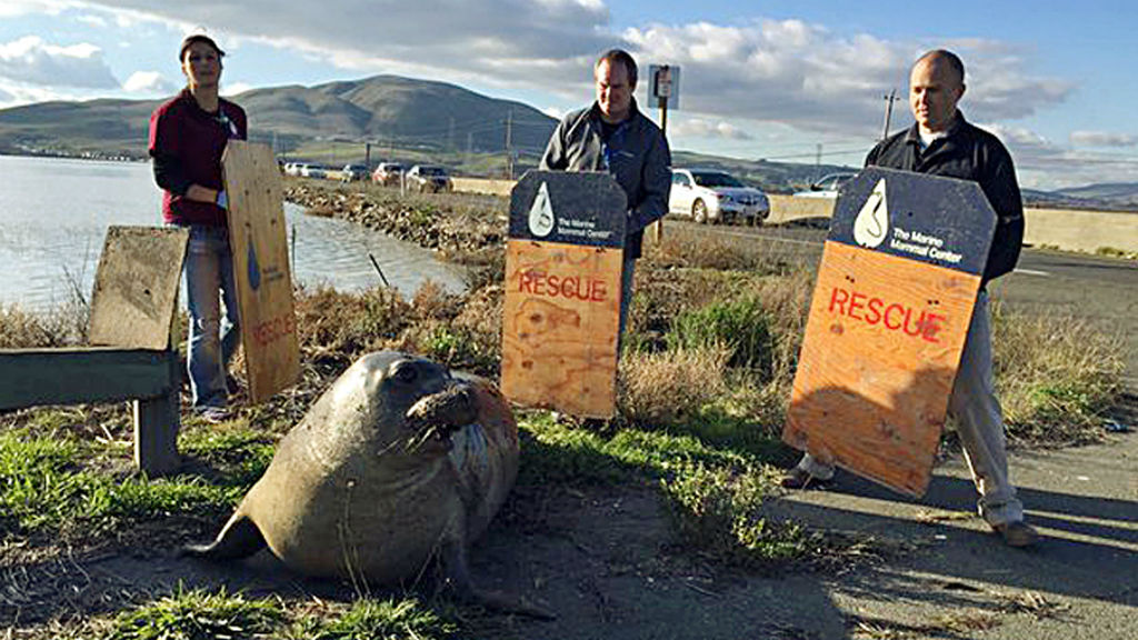Seal which caused traffic standoff in California gives birth