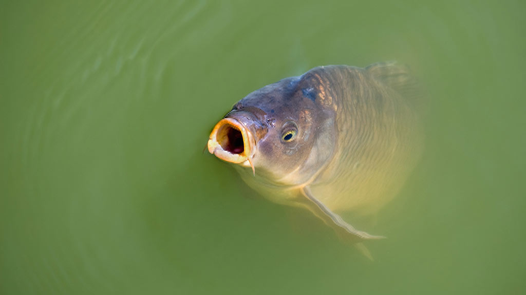 Herpes virus could be introduced to control Murray-Darling carp invasion