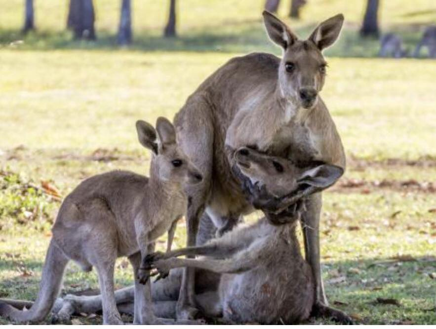 Expert says 'grieving' kangaroos were actually doing something far more sinister