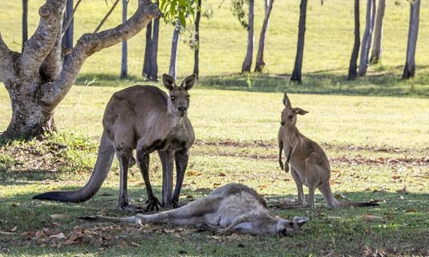 It is not clear how the mother kangaroo died. The male kangaroo appears to cradle the female kangaroo's head in his arms. (Evan Switzer)