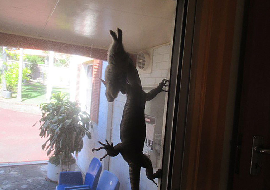 Malcolm Thom shooed the goanna from his screen door with a rake, freeing the rabbit