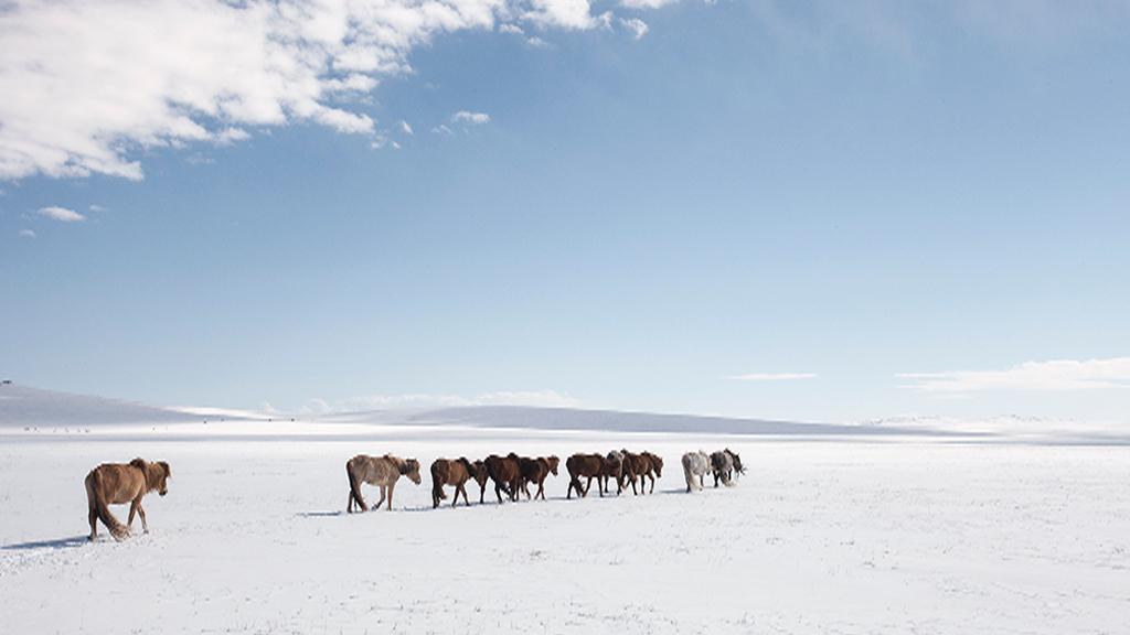 A herd of horses walk across Mongolia's frozen plains.