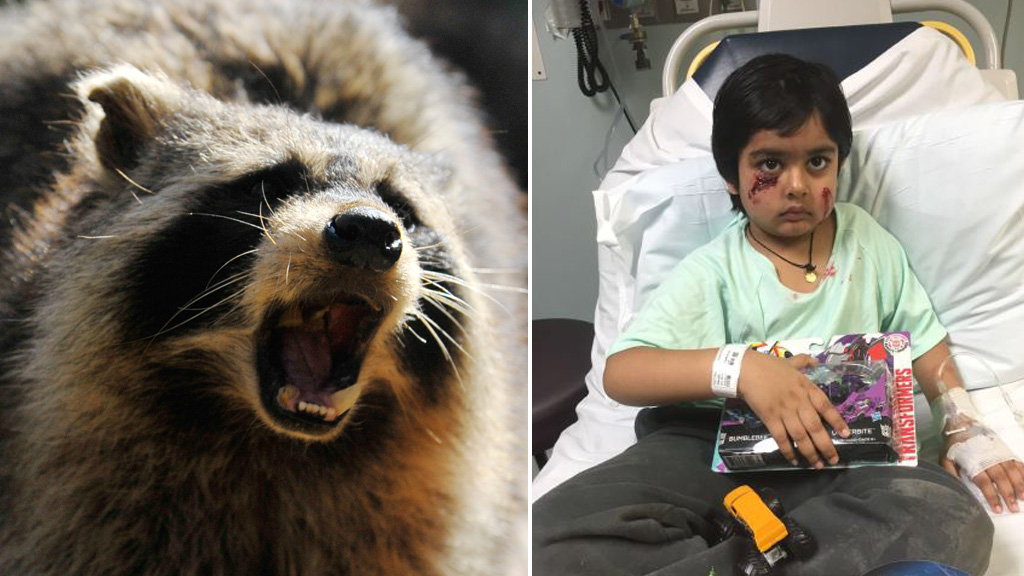 Raccoon who savaged six-year-old New Jersey boy tests positive for rabies
