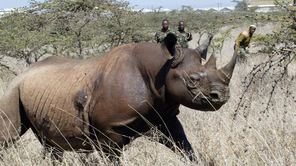 A 4-year old female black rhino at Nairobi National Park. (AAP)