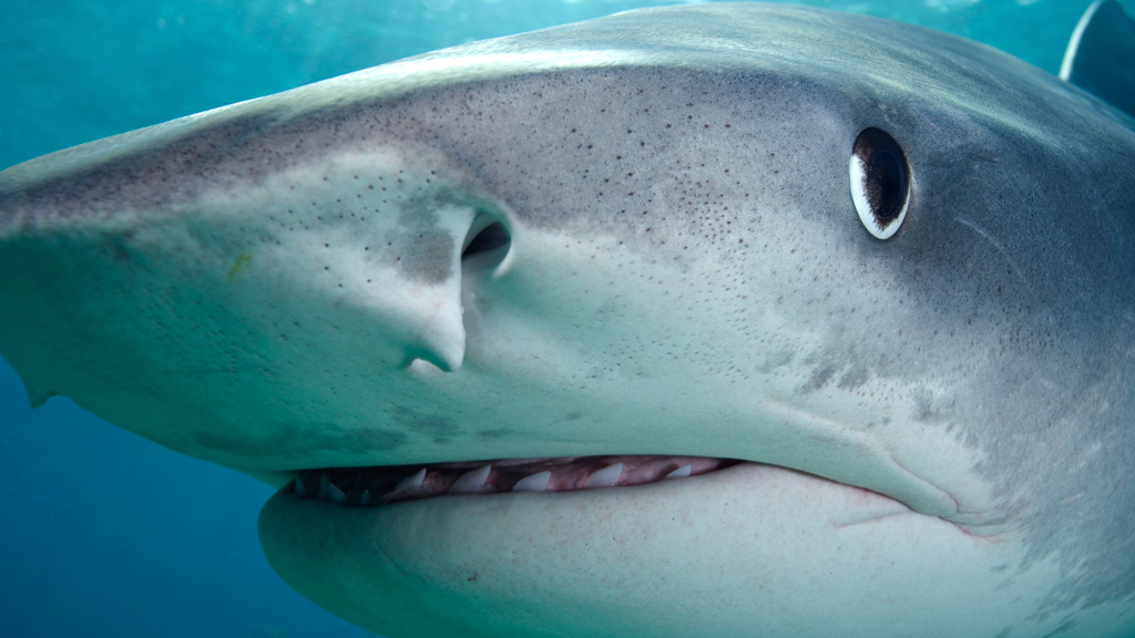 Tiger shark tracked on a 7000km journey around Australia