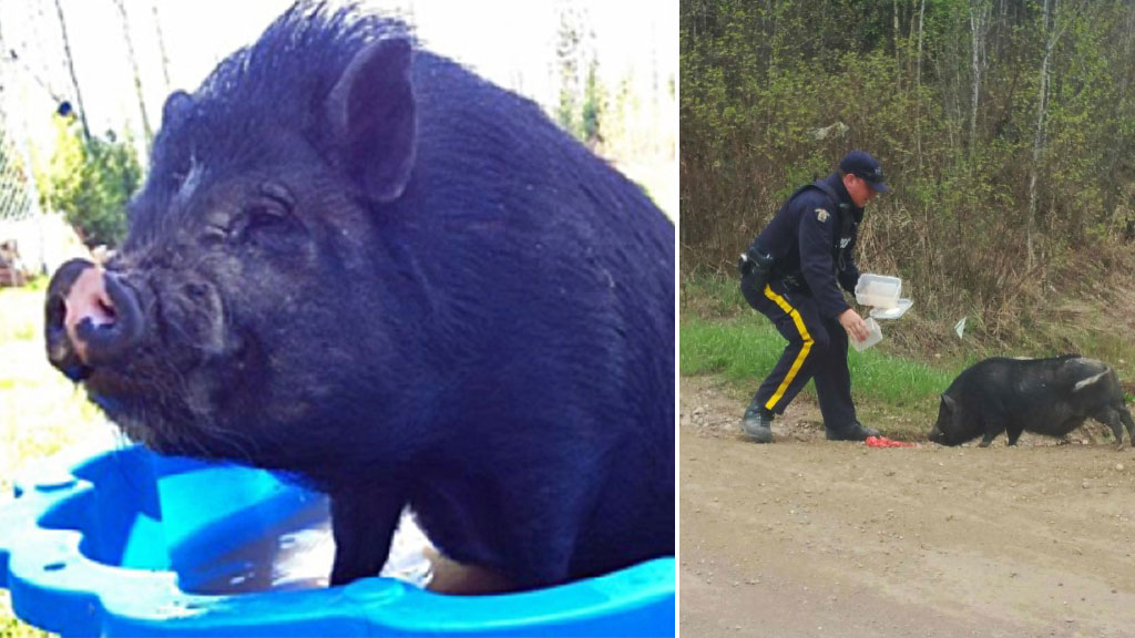 Pet pig left behind in Canadian wildfire evacuation found after police tweet photo of officer feeding it watermelon