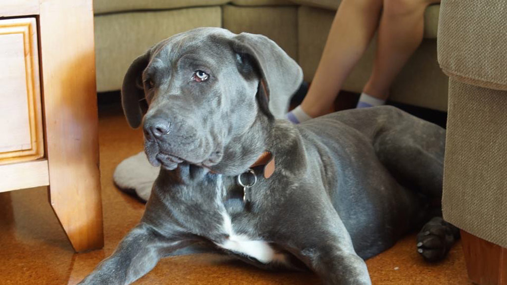 """Zali exhibits the """"sad faced"""" look which is usual for her breed. (No Kill Pet Rescue)"""