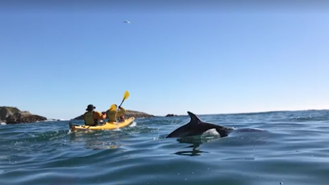 Dolphins break the surface as kayakers paddle towards the bubbles. Source: Stuff