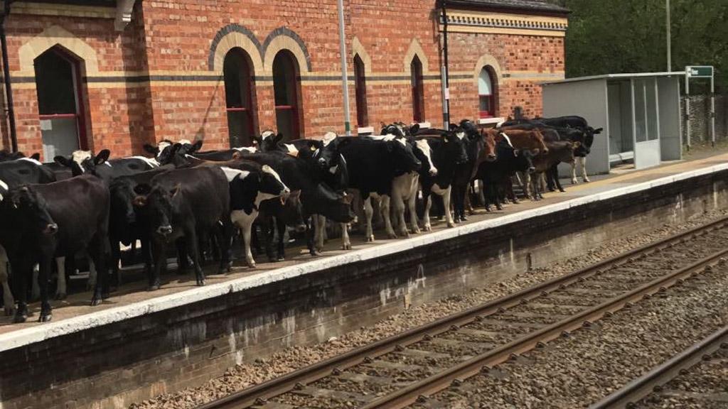 Cows spark delays after gathering on UK train platform