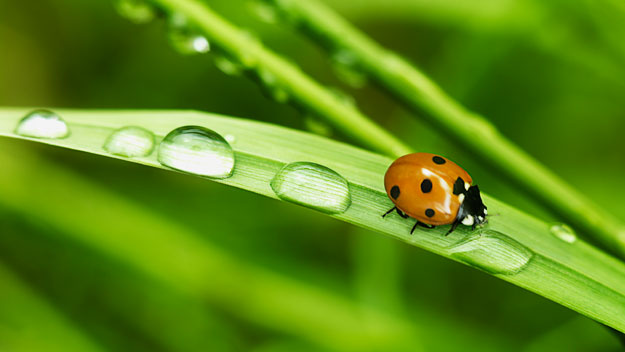 How to deal with ladybirds