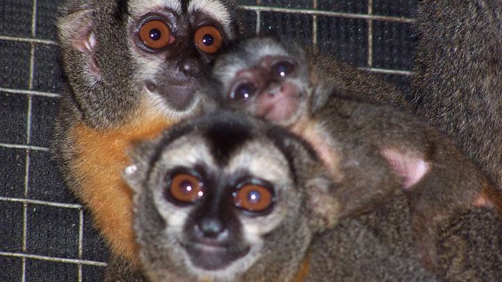 Azara's owl monkeys (Aotus azarae)