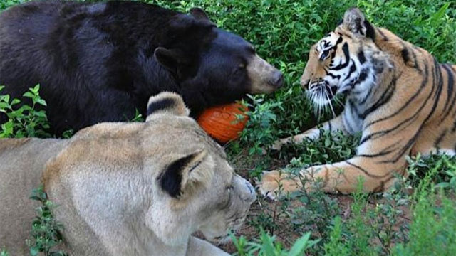 New rules can't split bear, lion and tiger