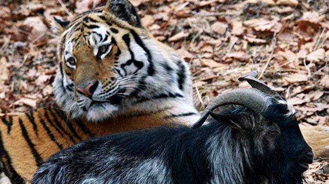Amur the tiger and Timur the goat: star-crossed lovers
