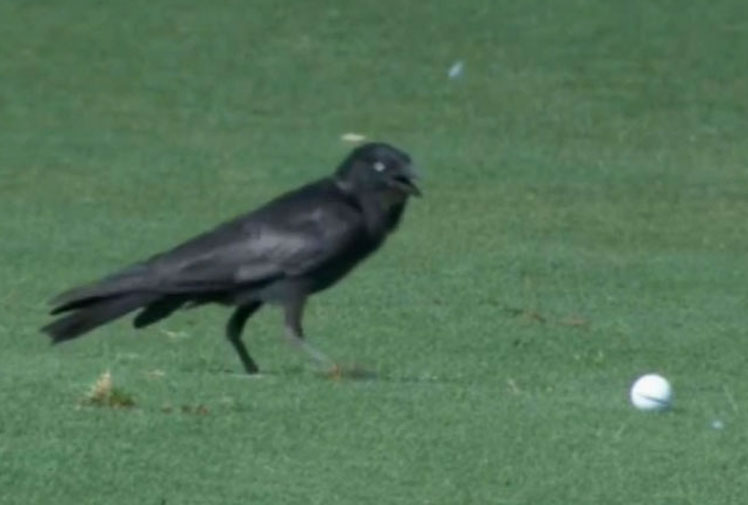 <b>A feathered robber invaded the Australian PGA Championship when a crow flew off with Samuel Eaves' ball during the second round.  </b><br/><br/>Eaves was playing the par-five 15th at the Royal Pines Golf Resort when the thief swooped down onto the fairway and nicked off into thick shrub with the ball.<br/><br/>However, officials were able to recover the stolen item and Eaves walked off the hole with, wouldn't you know it, a birdie.<br/><br/>Check out the cheeky heist and other clips of fellow members of the animal kingdom invading the fairways...<br/><br/><br/>